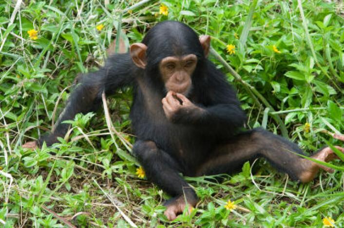 """""""Sjimpanser er den dyrearten som ligner mest på oss mennesker, og man har flere ganger observert at de bruker saker og ting som verktøy til å for eksempel knekke nøtter. (Illustrasjonsfoto: iStockphoto)"""""""
