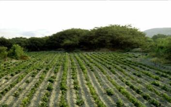 Slik kan Nazca-folkets jordbruk ha sett ut. Bildet viser en åkerlapp med bønner beskyttet av hekker av huarango-trær ved en moderne økologisk gård i det sørlige Peru. (Foto: David Beresford-Jones, University of Cambridge)