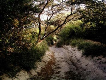 ... og slik kan kanalene for å fange opp flomvann som Nazca-svilisasjonen brukte til vanning ha sett ut. Huarango-trær og akasier dekker kanalen og beskytter den mot erosjon. (Foto: David Beresford-Jones, University of Cambridge)