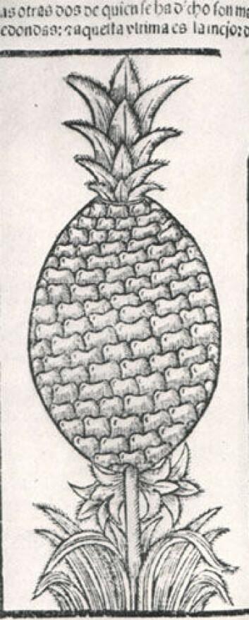 Ananas fra Amerika ble raskt populært hos europeerne. Tidlig europeisk illustrasjon av ananas fra et verk om Amerika utgitt på 1500-tallet.