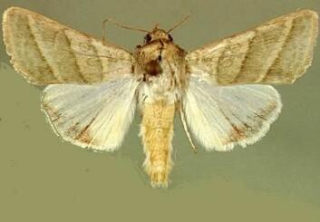 Nattsvermeren Heliothis virescens gjør årlig skade for 14 milliarder kroner.