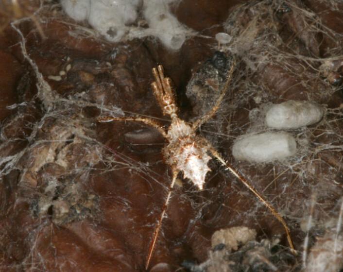Stenolemus bituberus i et edderkoppnett. Bildet er bearbeidet for å framheve rovtegen. (Foto: Anne Wignall)