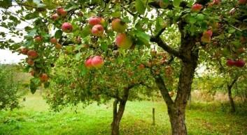 Epledyrking er tidkrevende. Først etter nærmere seks år bærer trærne frukt av særlig mengde. (Illustrasjonsfoto: Shutterstock)