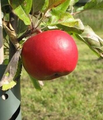Økofrukt produserer i dag mer enn 20 eplesorter. (Foto: Alf Kigen)