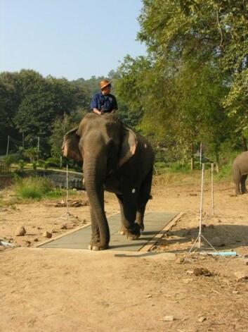 Asiatiske elefanter kan bevege seg fort, men er det mest riktig å si de løper eller at de bare går veldig fort? En studie utført med 34 elefanter i Thailand gir noen svar. Bilde fra forsøkene. (Foto: Norman Heglund)