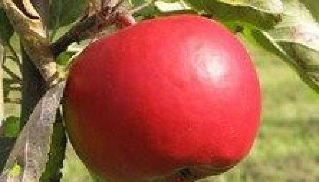 Økofrukt produserer i dag mer enn 20 eplesorter. Foto: Alf Kigen
