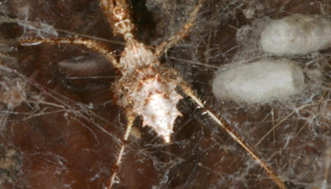 Stenolemus bituberus i et edderkoppnett. Bildet er behandlet for å framheve rovtegen. (Foto: Anne Wignall)