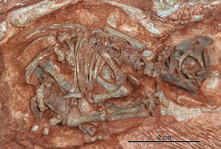 """""""Fossilene er de eldste virveldyr-fostrene noensinne funnet, og er svært godt bevart. (Foto: Diane Scott/University of Toronto at Mississauga)"""""""