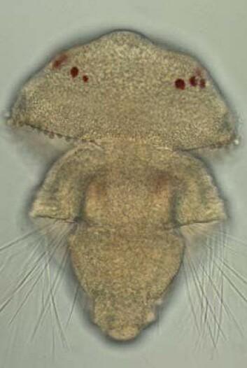 En armføtting-larve med røde øyeflekker. Disse øynene bruker de samme lyssensitive cellene som vi mennesker har i våre øyne. (Foto: Nina Furchheim, Berlin)