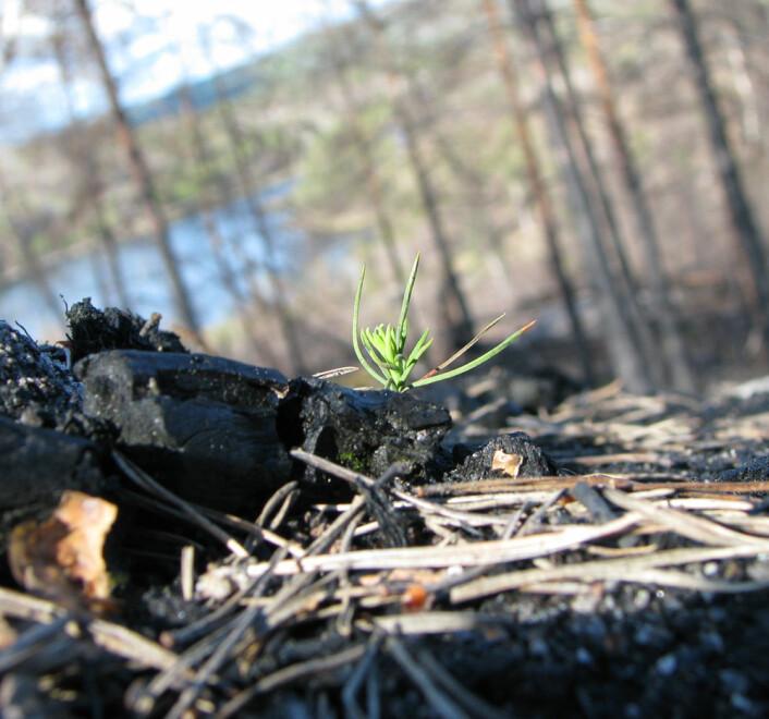 Furu kommer raskt tilbake. Bildet er tatt våren 2009, 8 måneder etter brannen. (Foto: Per Holm Nygaard, Skog og landskap)