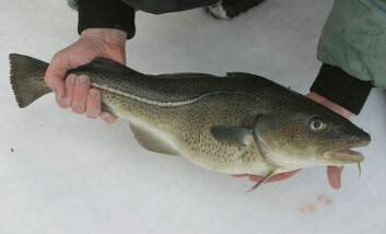 Oppdrettstorsk lukter mindre fisk enn villtorsk. (Foto: Frank Gregersen)