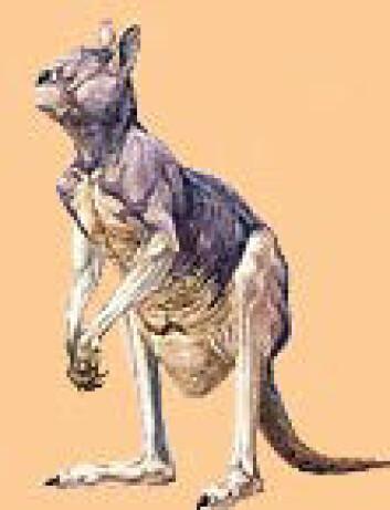 """""""Den tre meter høye kenguruen Procoptodon døde ut for 40 000 år siden."""""""