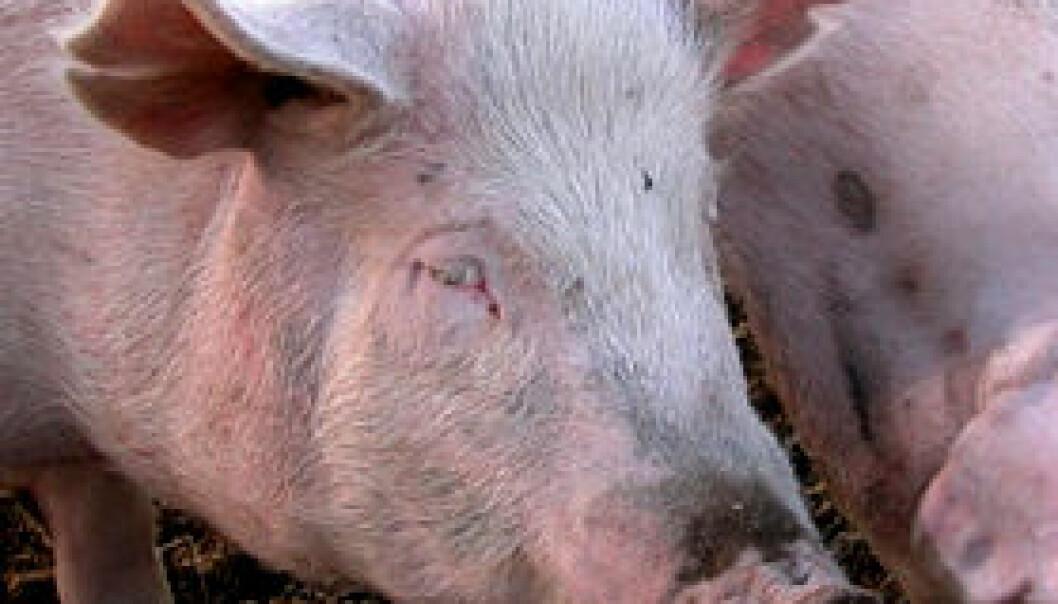 Flesket til med svine-genomet