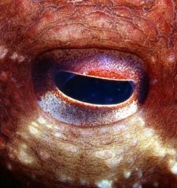 Blekksprutøye (Foto: iStockphoto)