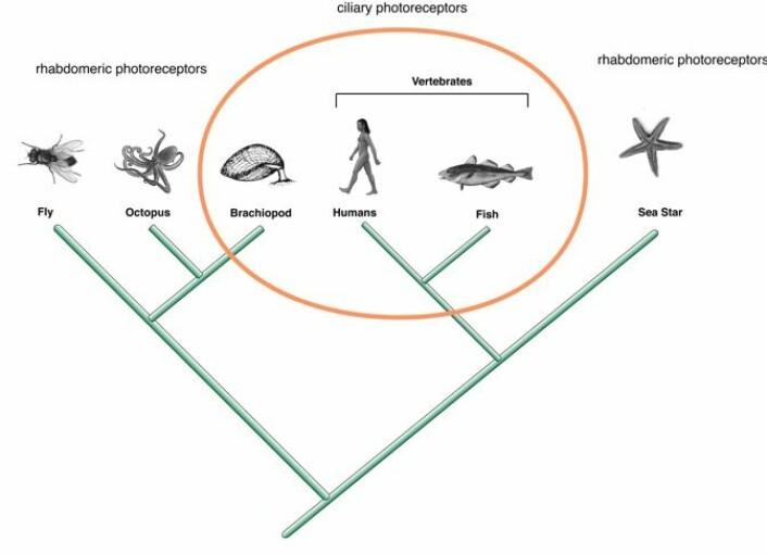 Her ser du hvordan det ciliære synssystemet finnes både hos virveldyr og hos virvelløse dyr. Klikk på forstørrelsesglasset for stor versjon. (Illustrasjon: Andreas Hejnol)