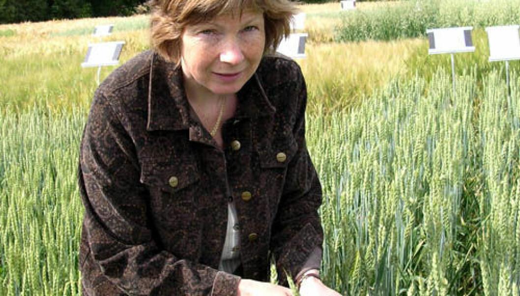 """""""En ny hvete basert på gamle arter kan gjøre livet enklere for cøliaki-rammede, konkluderer Anne Kjersti Uhlen"""""""