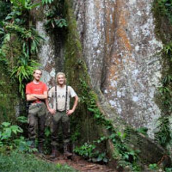 Jens Ådne Rekkedal Haga og Kjetil Lysne Voje foran et imponerende tre i Brasils regnskog. Foto: Darwinekspedisjonen