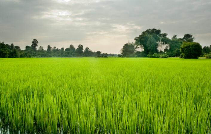 Ris har økt kraftig i pris, og i enkelte land  blitt dobbelt så dyrt for forbrukere. Bildet viser rismarker i Kambodsja. (Foto: iStockphoto)
