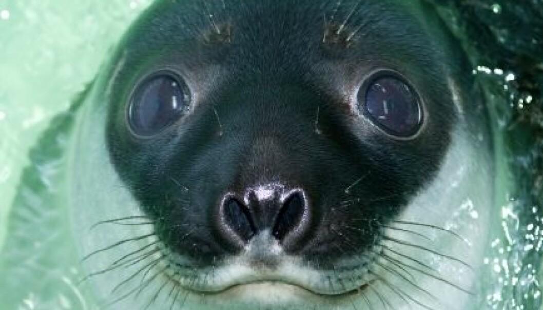 Seler lukker neseborene sine når de dykker, så de kan ikke bruke luktesansen sin under vann. Delfiner har ingen luktesans i det hele tatt. (Foto: Torbein Kvil Gamst)