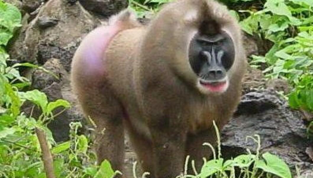 Øy-spesifikke varianter av simian immunsviktivirus (SIV) smitter aper som Boiko drill, og avslører at viruset har eksistert flere tusen år lenger enn tidligere antatt. Drill er en art i smalneseapefamilien. (Foto: Preston Marx, Tulane University)