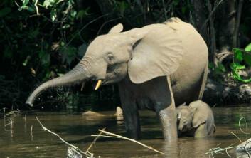 Skogselefant fotografert elven Mbeli i Kongo. Bildet hentet fra en vitenskapelig open access-artikkel i tidsskriftet PLoS Biology, doi:10.1371/journal.pbio.0050115.g001 (Foto: Thomas Breuer)  Lisens: Creative Commons Attribution 2.5 Generic