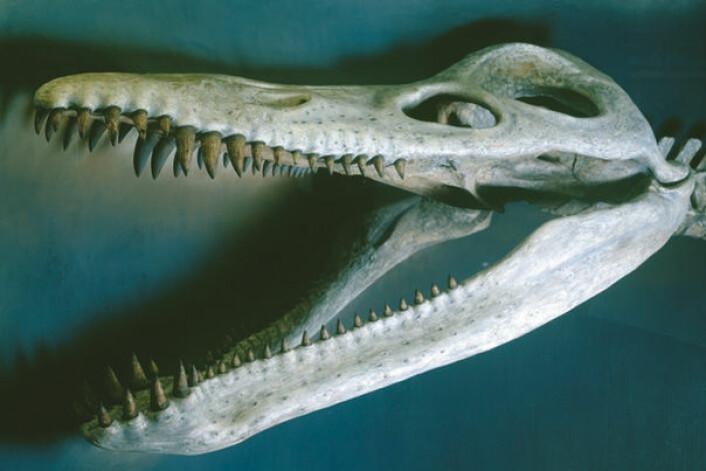 """""""PåHarvard Museum of Natural Historyhenger denne13 meter lange kronosaurus queenslandicus, til publikums skrekk og fryd. (Foto: Mark Sloan/ HMNH)"""""""