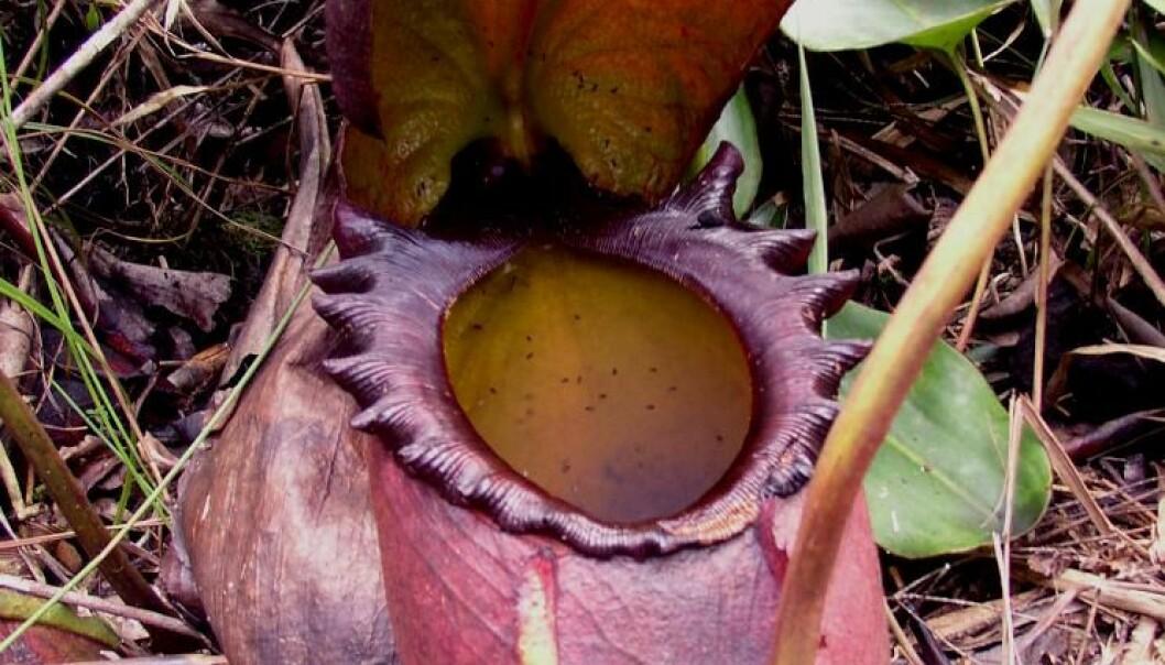 Kjøttetende plante spiser møkk