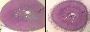 Tverrsnitt av binyrer fra sauefostre. PCB-eksponering (bilde til høyre) ga tydelig tynnere binyrebark (AC) og lavere produksjon av stresshormonet kortisol. (Foto: Mona Aleksandersen)