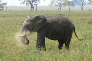 Afrikansk savanneelefant i Tanzania. (Foto: D. Gordon E. Robertson, Wikimedia Commons) Lisens: Creative Commons Attribution-Share Alike 3.0 Unported