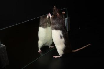 Norske forskere har oppdaget en ny type celle i et område i hjernen kalt entorhinal cortex. Iforsøk utført på rotter viste det seg at disse cellene registrerer grensene og barrierene i et miljø, og danner grunnlaget for stedssans. (Foto: Raymond Skjerpeng, Kavli Institute for Systems Neuroscience)