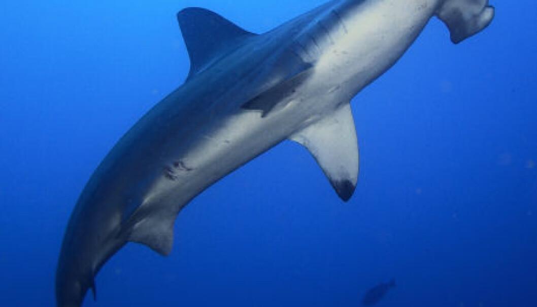 """""""Hammerhaien har spesielt stor avstand mellom neseborene, og kan dermed bruke de økte tidsforskjellene til å zoome seg inn på lukten av byttedyret."""""""