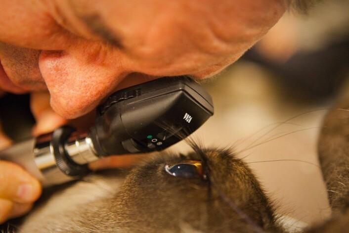 Prosjektleder Glen Jeffery fra University College London tar en titt inn i reinsdyrøyet med oftalmoskop. (Foto: Andreas Palmén)