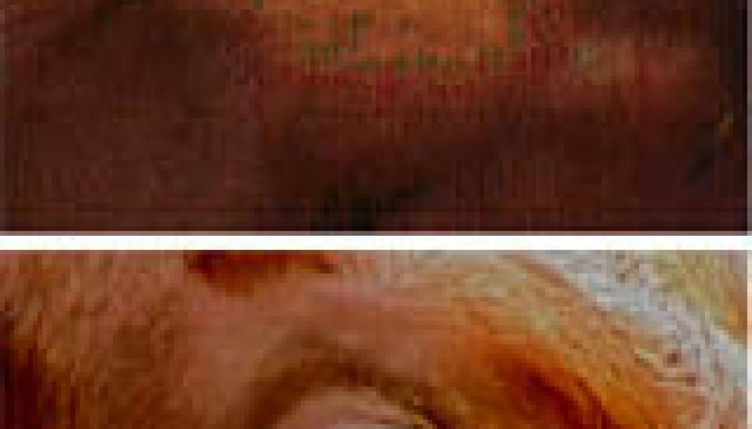 """""""Kua viser mye av det hvite i øyet når hun er frustrert. Kua på det nederste bildet har det derimot helt fint. (Foto: Agnete-Iren Sandem)"""""""