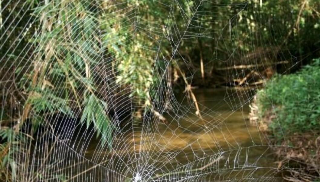 Nettet til Caerostris darwini over en elv i Ranamofana National Park, Madagaskar. (Foto: Wikimedia Commons / Lalueza-Fox, C.; Agnarsson, I.; Kuntner, M.; Blackledge, T. A.)