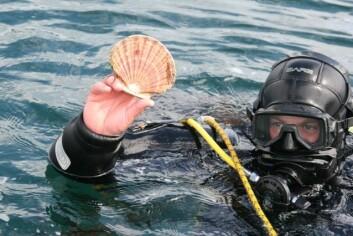 Ved Frøya kommune i Trøndelag bugner det med kamskjell, fastslår dykker og forsker ved Havforskningsinstituttet, Bjørn Krafft. (Foto: Liv Røhnebæk Bjergene)