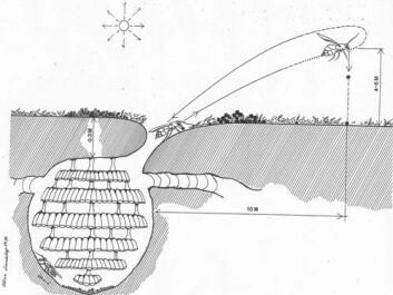 Arbeider-vepsene henter jord fra under bakken, der bolet ligger, og frakter den opp på overflaten. Over bakken fanger den solstråler, som kanskje brukes som direkte energi. (Tegning gjengitt med tillatelse fra M. Plotkin)