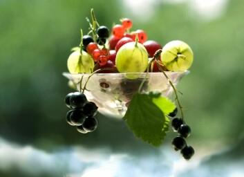 Friske, økologiske solbær, rips og solbær er ettertraktet vare i Europa. (Foto: Shutterstock)