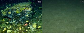Havbunnen på bankene utenfor Lofoten veksler mange steder mellom stein- og blokkrike morenerygger, og sandsletter (til høyre). Mange organismer, som for eksempel svamper, trives på moreneryggene. I forgrunnen sees også en liten uer. (Foto: MAREANO)