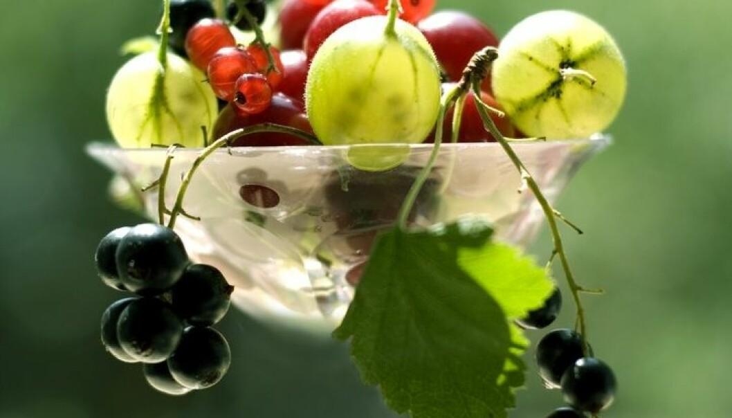 Friske, økologiske solbær, rips og solbær er ettertraktet vare i Europa. Foto: Shutterstock