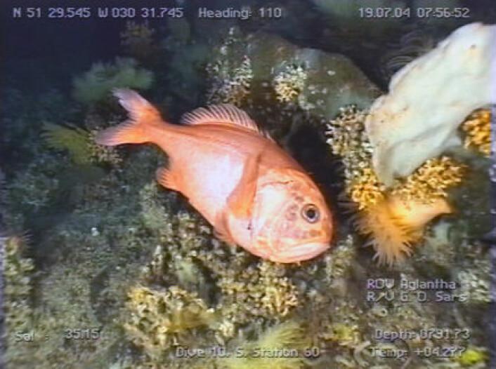 """""""Orange roughy i korallhabitat på den midt-Atlantiske ryggen."""""""