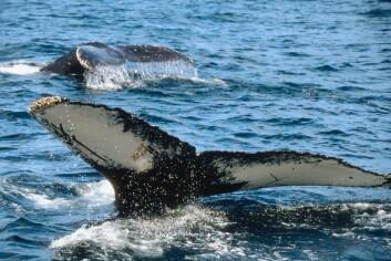 """""""Ulikt opphav er en viktig del av forklaringen på forskjellen i svømmeteknikk mellom hvaler.... (Foto:Clipart.com)"""""""