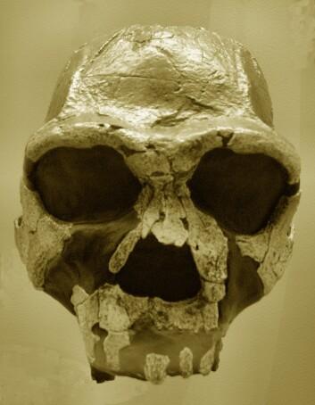 Homo Erectus.  (Foto: Wikimedia Commons)