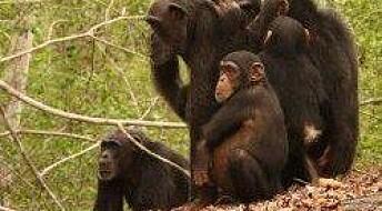 Helseovervåking av truede aper