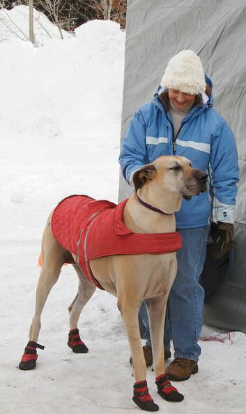 Selv de søteste og varmeste trekkhundene kan få problemer med for eksempel hudavskrapninger på potene når veiene er fylt med salt. Derfor kan det faktisk være en god idé at hundene får sko på. (Foto: A. Davey)