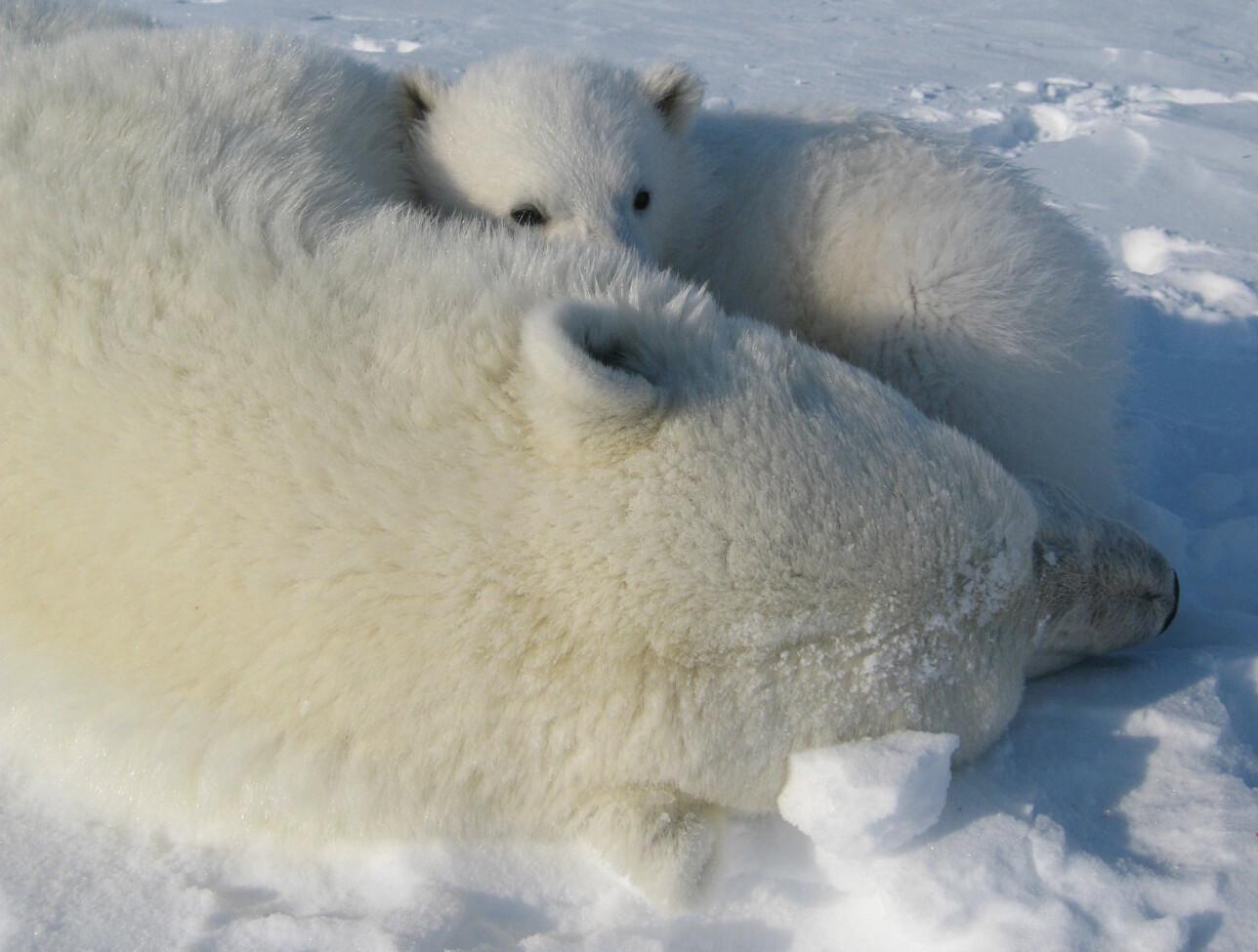 """""""Morsmelkerstatningen"""" som blir gitt til isbjørungene i de zoologiske hagene har vært mangelfull. (Foto: Magnus Andersen)"""