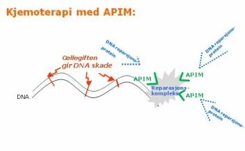 Cellegiften gir DNA-skade (rødt). Reparasjonskomplekset må få DNA reparasjonsproteinene (blått) bundet for at det skal kunne fungere.  APIM (grønt) blokkerer bindingen slik at reparasjonen ikke kan gjennomføres.