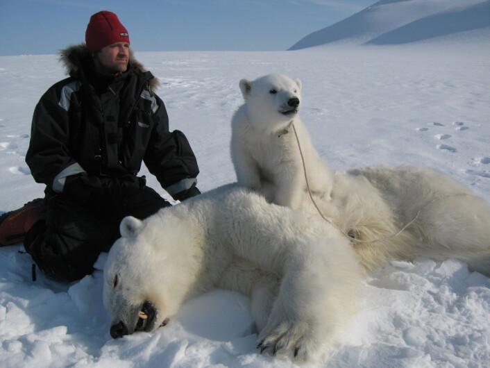 Isbjørnforsker Jon Aars fra Norsk Polarinstitutt med binne og isbjørnunge i forbindelse med feltarbeid på Svalbard. (Foto: Norsk Polarinstitutt)