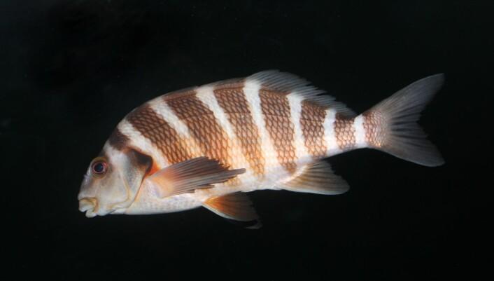 """""""G. spectabilis er ikke som torsken, den flytter seg ikke når vannet blir for varmt.(Foto: Wikimedia Commons/Avenue)"""""""