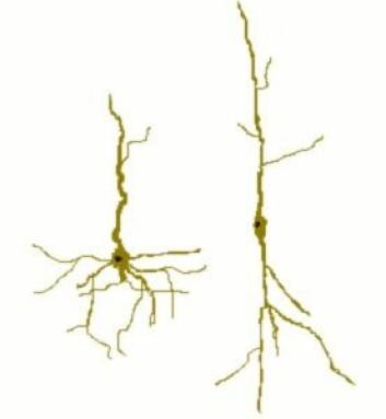 """""""Von Economo-nevronene er det som styrer empati i hjernen, tror forskerne. (Foto:Selket/WikimediaCommons)"""""""