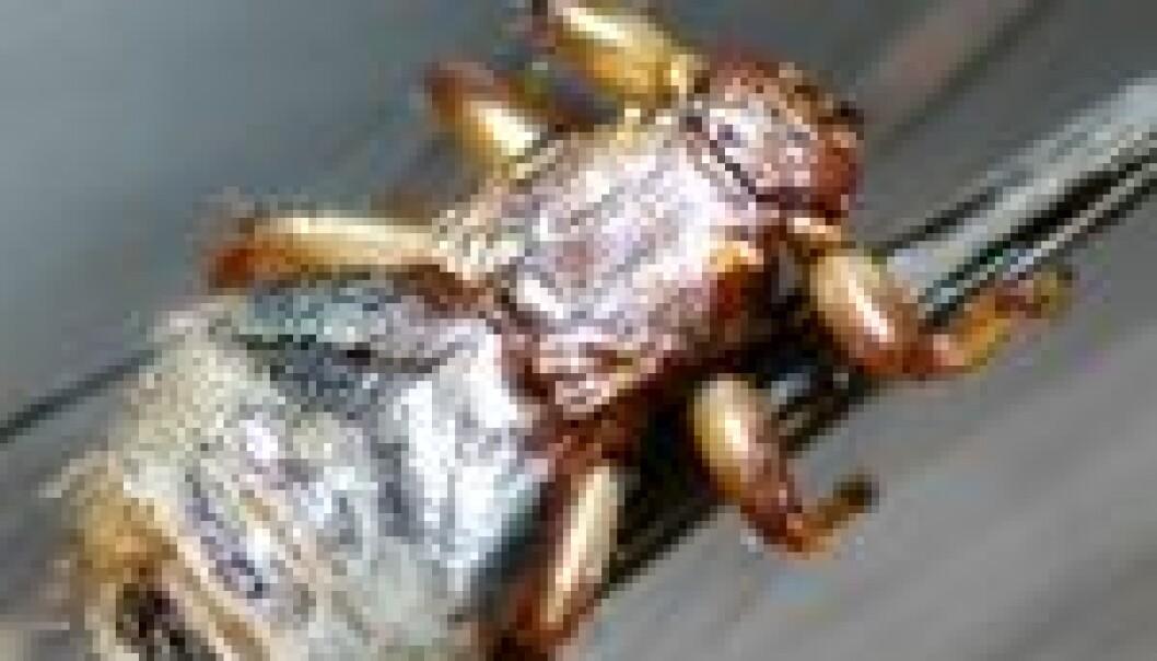 Hjortelusflua er et plagsomt insekt for både dyr og mennesker.